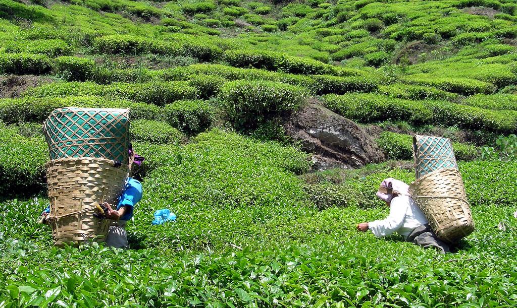 Darjeeling_wyprawy_glob_net_herbata